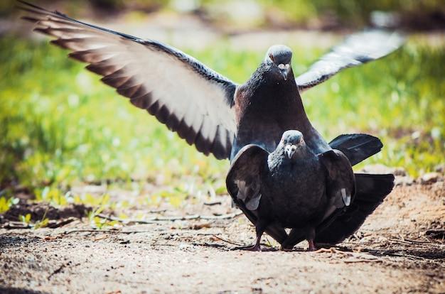 Wild pigeons on the street