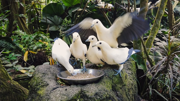 Wild pigeons white and blue color eat from bowl standing on gray stone