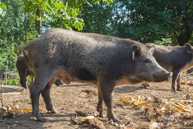 Wild pigs in the public forest enclosure are kept for reproduction