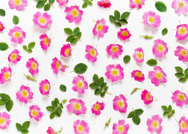 Wild pink rose or dog rose blossoms with leafs. creative pattern made of colorful spring flowers on white background. top view.