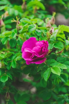 Wild pink rose in green leaves of a bush