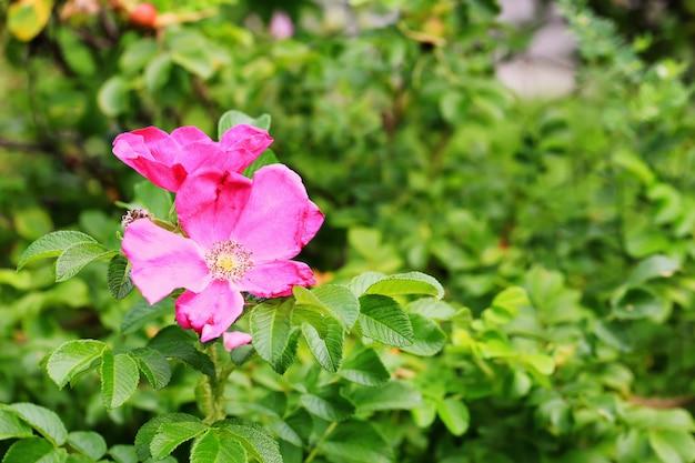 Дикая розовая роза в саду