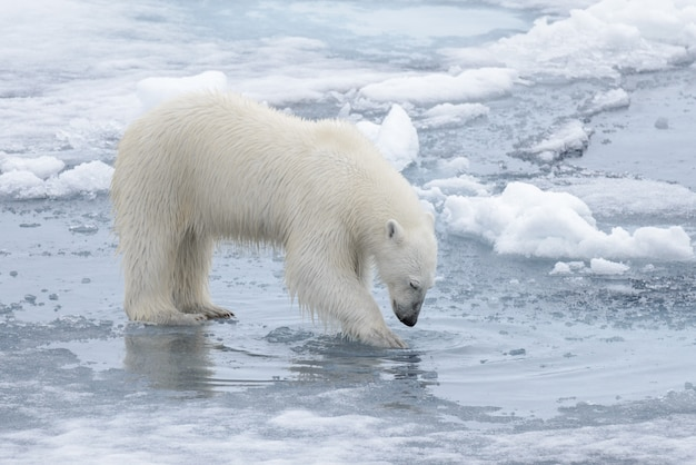 Wild polar bear looking to his reflection in water on pack ice in arctic sea