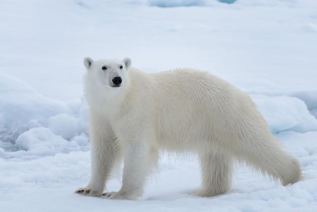 Дикий белый медведь на паковом льду в арктическом море крупным планом