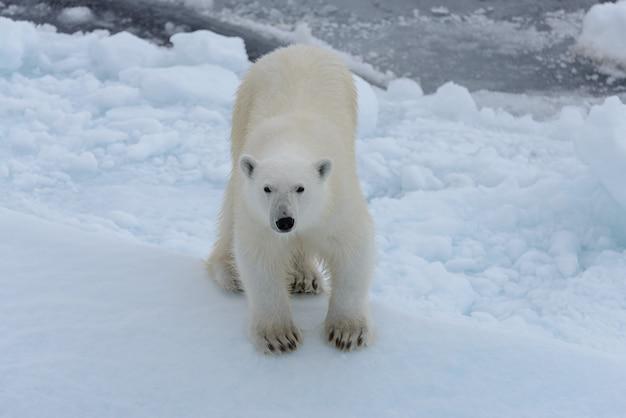 Дикий белый медведь на паковом льду в арктическом море, глядя в камеру