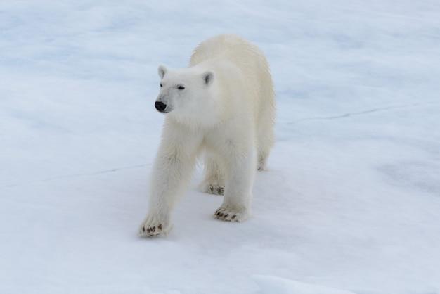 북극 바다에서 팩 얼음에 야생 북극곰