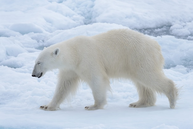 Дикий белый медведь на паковом льду в арктическом море