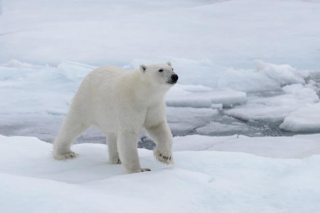 北極海の流氷上の野生のホッキョクグマ