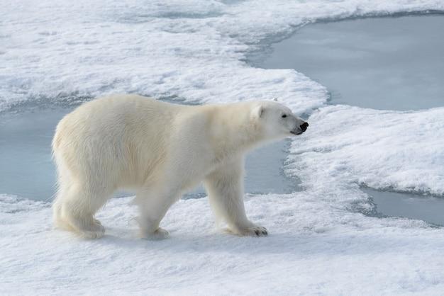 Дикий белый медведь на паковом льду в арктике