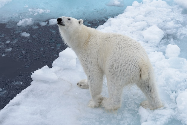 Wild polar bear on pack ice in arctic sea from top, aerial view