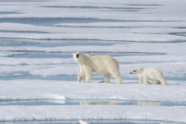 Дикий белый медведь (ursus maritimus) мать и детеныш на паковом льду