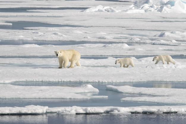Дикий белый медведь ursus maritimus мать и детеныш на паковом льду
