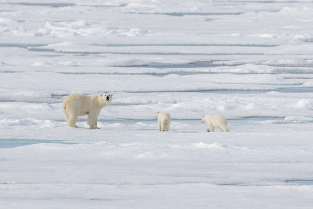 Wild polar bear ursus maritimus mother and cub on the pack ice