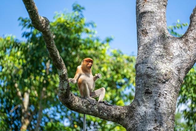 Wild proboscis monkey or nasalis larvatus, in the rainforest of island borneo, malaysia, close up. monkey is sitting on a tree