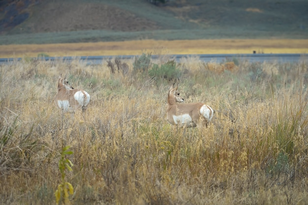 Wild pronghorn in yellowstone national park