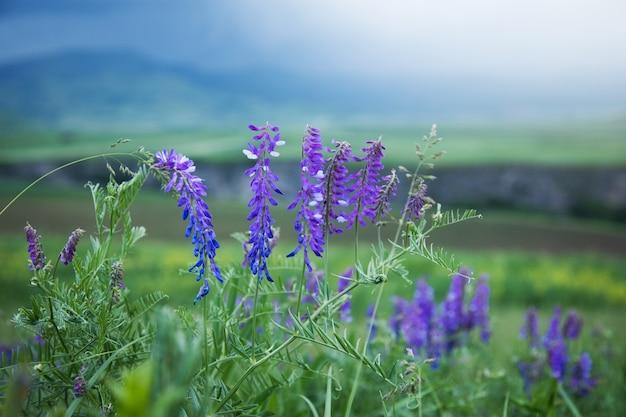 필드에 야생 보라색 꽃