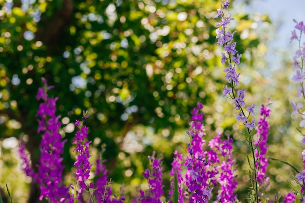 Wild purple flowers in summer