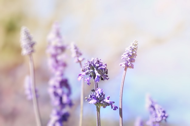 野生の紫色のサルビアの花(サルビアネモローサ)、ソフトフォーカス、ヴィンテージ色のトーン。