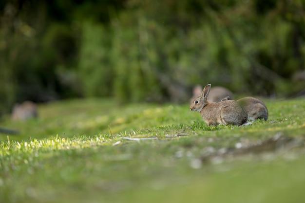 Дикие кролики в лесу ищут самую нежную траву