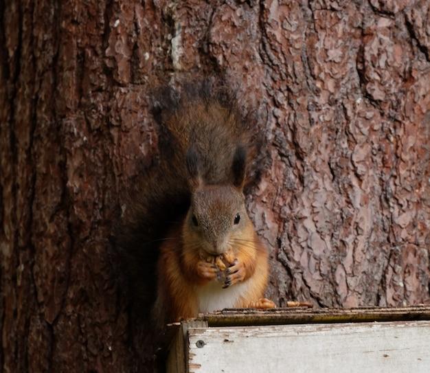 ナッツを食べる村の野生の赤いフワフワしたリス