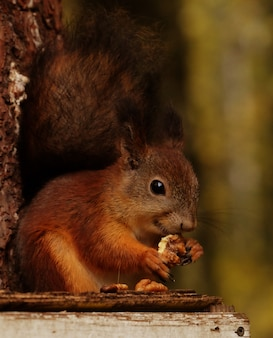 Wild red fluffy squirrel in the village eating nuts
