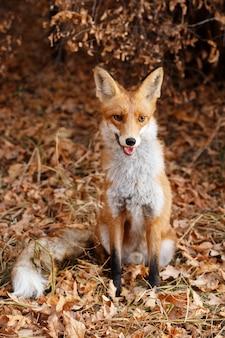 Дикая рыжая лиса в осеннем лесу