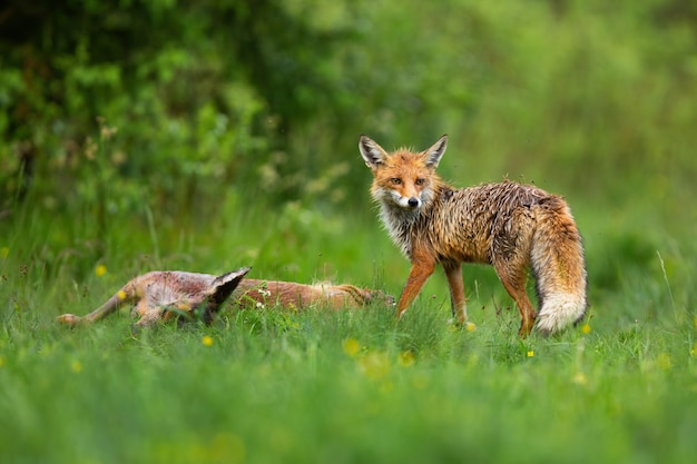 Wild red fox standing by dead roe deer doe and looking back over shoulder