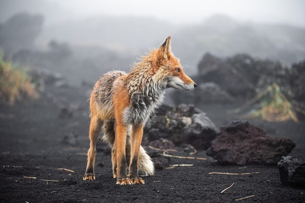Wild red fox (vulpes vulpes beringiana) standing on black sand. kamchatka peninsula, russia