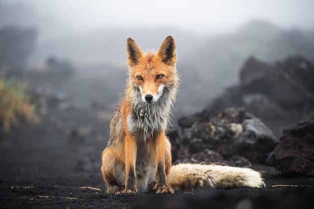 Дикий красный лис (лисица лисица обыкновенная) стоя на черном песке. камчатский полуостров, россия