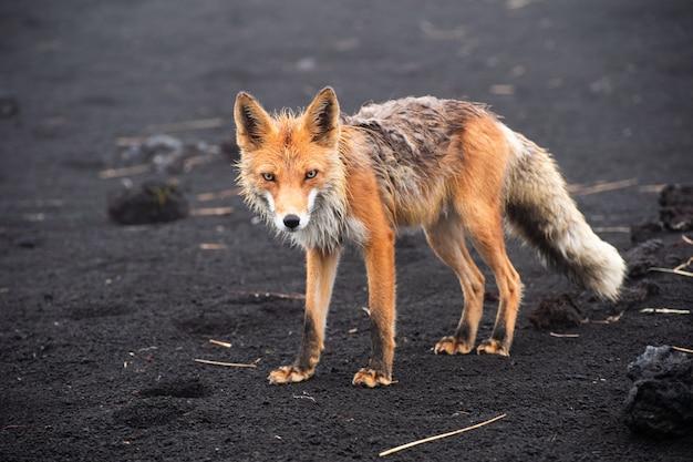 Дикий красный лис (vulpes vulpes beringiana) стоя на черном песке. камчатский полуостров, россия