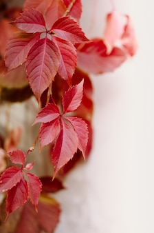 Wild red grape leaves. beautiful bright fall background.