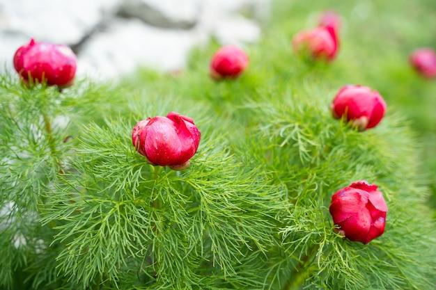 Дикий красный пион на зеленом фоне крупным планом. весенние цветы краснеют на солнце. на горе цветут красивые пионы. мягкий фокус.