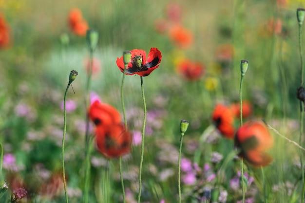 春の緑の野原にいる野生の赤いポピー。