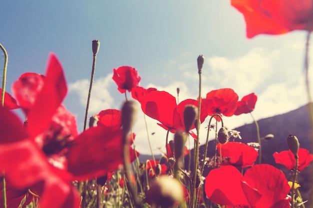 晴れた日の牧草地の野生の赤いポピー。ライトスポットで飾られています。