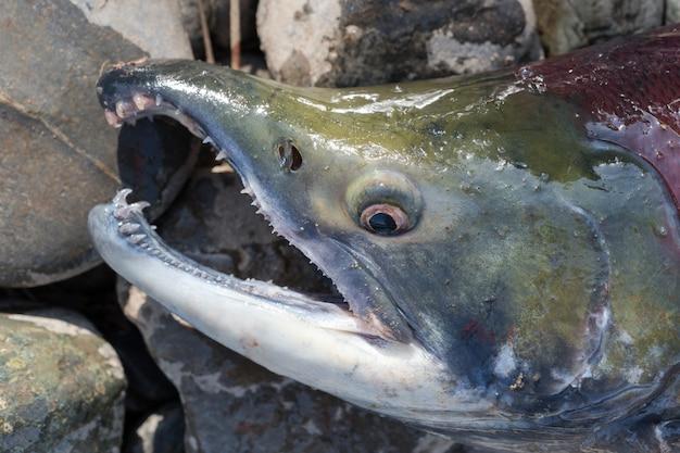 Дикий красный лосось нерка oncorhynchus nerka тихоокеанский лосось во время нереста