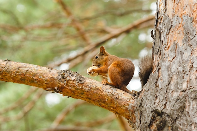 숲에서 나무에 먹는 야생 붉은 다람쥐