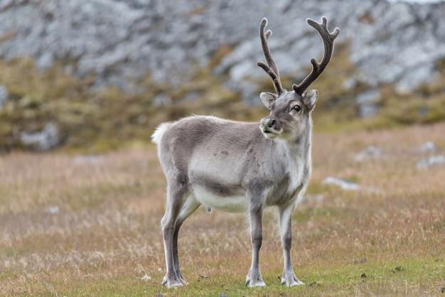 Wild reindeer in svalbard tundra