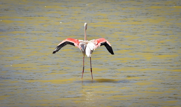 A wild ringed greater flamingo, phoenicopterus roseus, taking off in flight over shallow water Premium Photo