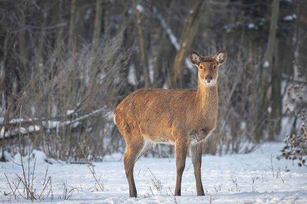 Wild roe deer in the winter forest in the wild