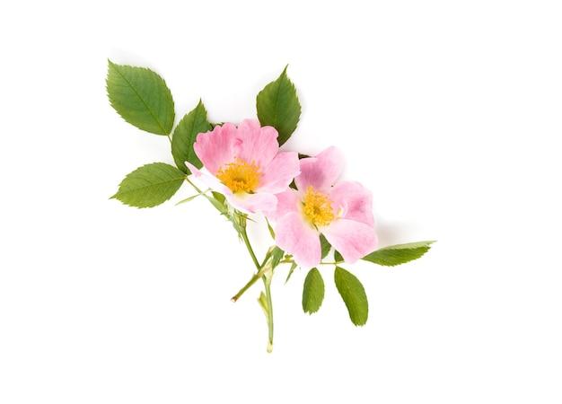 白い背景で隔離の野生のバラの花