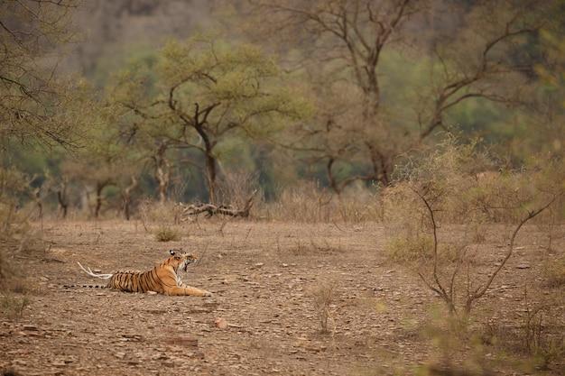 Дикий королевский бенгальский тигр в естественной среде обитания национального парка рантхамбор