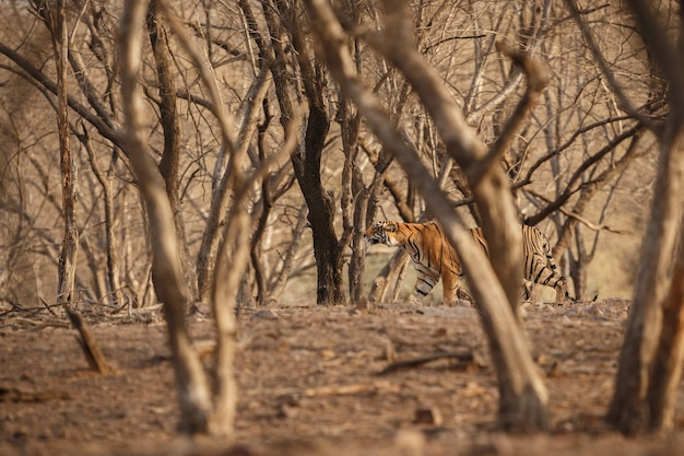 Wild royal bengal tiger in nature habitat of ranthambhore national park Free Photo