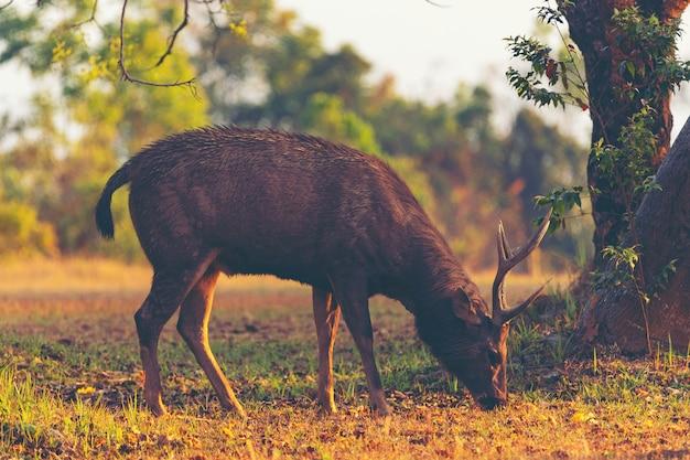 熱帯林の野生のサンバー鹿