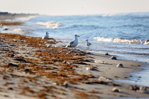 サーフィンの後、海藻とクラゲの泥だらけのビーチで野生のカモメ。ソフトセレクティブフォーカス。