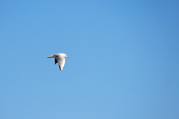 Wild seagull in natural blue sky background.