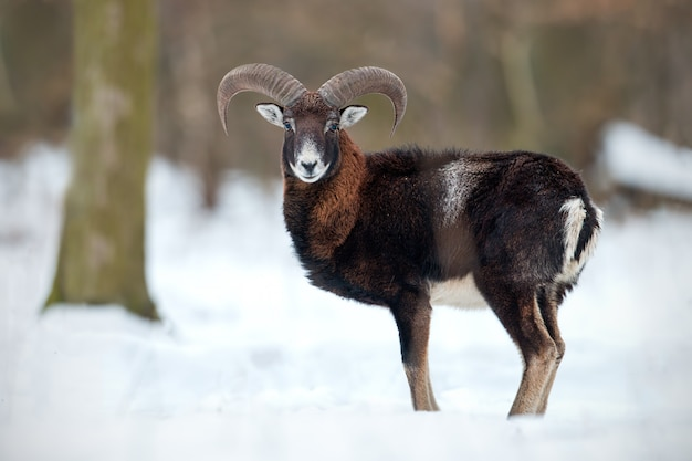 Wild sheep standing in deep snow in winter forest.