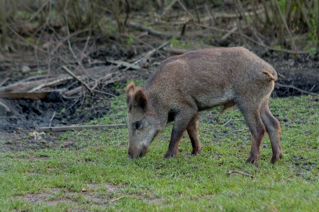Wild small pig contentedly grazing on grass