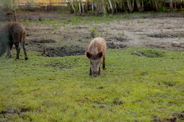 Дикий поросенок, довольно пасущийся на траве.