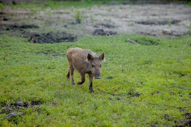 Дикий поросенок довольно пасется на траве.