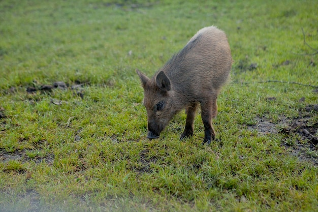 Дикий поросенок довольно пасется на траве. Premium Фотографии